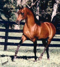 *Aladdinn (Nureddin x Lalage) *Aladdinn was an extraordinary stallion with an exceptional show record and exceptional progeny.  He come to the U.S. from Sweden in 1978 and went on to become U.S. National Champion. He was the first to be awarded U.S. National Champion and National Champion in a foreign country, which is quite a feat considering he had the shortest show career of all champions. *Aladdinn sired 1,216 registered foals. #ArabianHorses #History