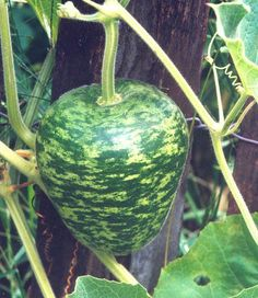 """Germ 7-10 days (Lagenaria siceraria)This heirloom resembles a giant delicious apple in shape. Gourds are 7.5"""" high and about 6"""" around. Skin is green speckled w"""
