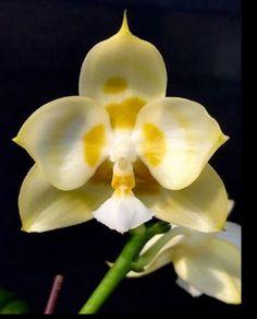 Phalaenopsis Orchids Phalaenopsis Orchid, Orchids, Plants, Flora, Plant, Orchid