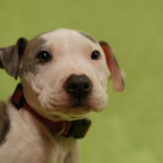 Zizzi is an adoptable Pit Bull Terrier puppy in Toledo, OH. All Planned Pethood dogs and puppies are altered (spayed/neutered) and fully vetted prior to adoption.
