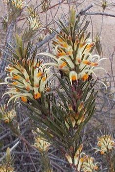 Adenanthos detmoldii Cranbourne email - Adenanthos detmoldii - Wikipedia, the free encyclopedia