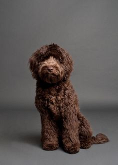 A Complete Guide to Merle Labradoodle - Labradoodles & Dogs Chocolate Goldendoodle, Cute Puppies, Cute Dogs, Dogs And Puppies, Doggies, Blue Merle, Puppy Cut, Dog Suit, Pets