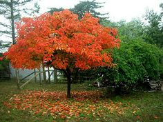 Oh how I would love to find a sunny spot for one of these: Diospyros kaki - Japanese Persimmon. Blooms May-June, leaves turn orange/red in fall then when leaves are gone in October-November bright orange persimmons galore! Wildlife love it too.