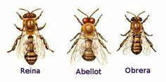 Tipus d'abelles