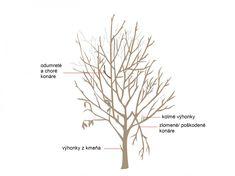 How To Prune Your Fruit Trees - Modern Farmer Prune Fruit, Pruning Fruit Trees, Tree Pruning, Pruning Plants, Straw Bale Gardening, Gardening Tips, Urban Gardening, Building A Trellis, Tree Diagram
