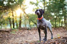 german shorthaired pointer photos woods forest