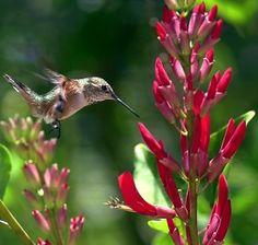 Desert Museum is top-flight for watching hummingbirds Callilope