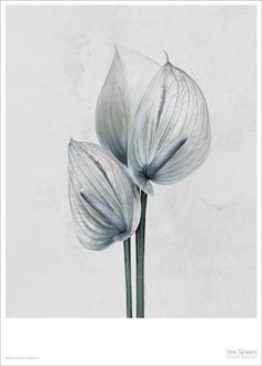 Vee Speers poster by ViSSEVASSE. The flower Anthurium Andreanum is from the series Botanica. Botanical Line Drawing, Botanical Art, Vee Speers, Eco Friendly Paper, Fine Art Photography, Flower Photography, Photo Art, Piano, Art Prints
