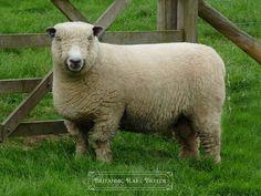Ryeland - Sheep breeds   Britannic Rare Breeds
