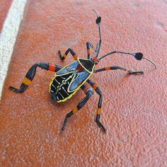 Photo of the Day: May 3, 2012 - Coolest bug EVER! San Pedro la Laguna, Guatemala.