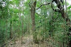 forest mexican montane - Google Search