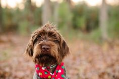 © Ashah Photography | Puppy Love:  Griffie wire haired pointing Griffon