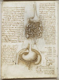 Study of the Digestive System, Leonardo da Vinci.