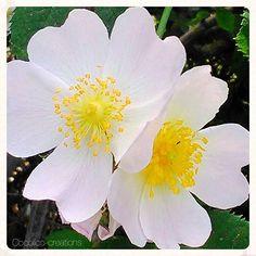 Fleurs blanches... #flowfleurs2016  #flowers  #fleurs  #cocolico