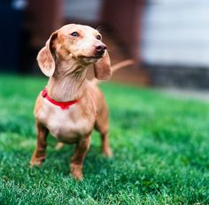 {Strudel, the Ever Vigilant Dachshund} so utterly adorable!