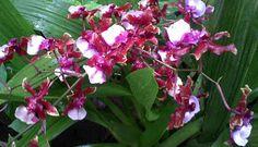 "Oncidium orchid Sharri Baby ""Sweet Fragrance"""