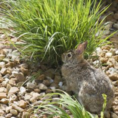 No, no, no, no .... by David Uthe on Capture My Chicago // Eastern Cottontail Rabbit in the garden ....