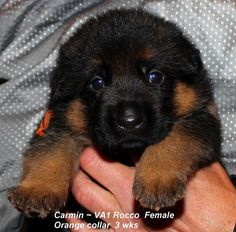 Mittelwest is a German Shepherd breeder of pure bred German Shepherd puppies. #mittlewest #germanshepherd