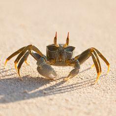 Seychelles, crab, beach.