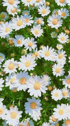 63 New Ideas Flowers Spring Wallpaper Colour Daisy Wallpaper, Spring Wallpaper, Flower Phone Wallpaper, Tumblr Wallpaper, Love Wallpaper, Colorful Wallpaper, Iphone Wallpaper, White Flower Wallpaper, Beautiful Wallpaper