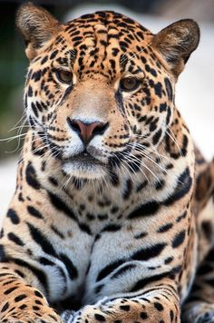 Beautiful Jaguar by Seb-Photos