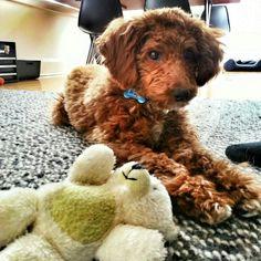 Miniature Apricot Poodle. Leo ♥s Teddy. Leo ♥posing. Leo♥s Brooklyn.