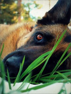 """German Shepherd Eye.  """"By RK Photography: 14 // 52; There's a light at each end of this tunnel [explored! --thank you]"""""""