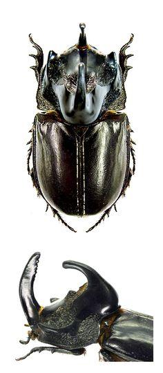 Trichogomphus simson
