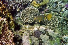 puffer fish egypt