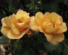 Maigold (Klätterrosor/Ramblers) - Flora Linnea