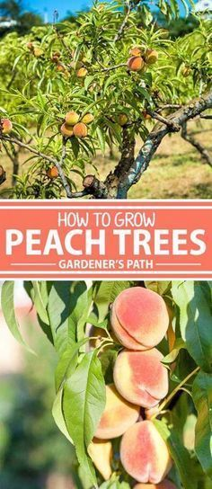 to Grow Peach Trees Does the thought of fresh-picked, sweet, juicy peaches make your mouth water? Check out this grower's guide from Gardener's Path and learn how to select the best tree for your area, how to care for it and how to get a bountiful crop of Organic Gardening, Growing Fruit Trees, Plants, Peach Tree Care, Growing Tomatoes, Fruit Garden, Peach Trees, Growing Tree, Gardening Tips