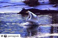Some are taking off and some are landing right now. #reiseliv #reisetips #reiseblogger #reiseråd  #Repost @permagneb with @repostapp  Ned for landing på en elv i surnadal #instagram #bird #swan #arrive #svane #norgeidag #beauty_of_nature #be_one_natura #loves_life #infinity_europe #bestcaptureglobal #marvelshots#landscapesofnorway #landscape #amazing_shots #norges_fotografer