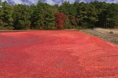 Cranberry Bog | Pine Barrens, New Jersey   #AmericaBound  @Sheila Collette Farm
