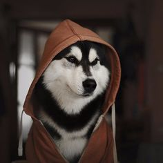 Husky in a hoodie💓💓💓  .  Posted by : @friendlyhuskys  Follow me to see more nice picture 😜  Thank you so much ☝️👌☝️👌 Tag someone who you'd want to share this photo with Beautiful 💜💌😚  All about Huskys Dogs for dog lovers.  @friendlyhuskys  👥 ⤵ Double tap & tag your friend Love it 😉  ❤❤❤  ❤❤❤  ❤❤❤  #Husky #huskypuppy #huskylove#huskymix #huskylovers #huskypuppies#huskys #huskyofinstagram #huskylife#huskyworld #huskylovingclub#huskynation #huskylover #huskydog#huskymom #huskys…