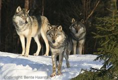 norway wolves | The wolves from the norwegian woods