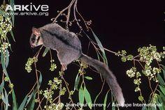 Leadbeaters Possum (Gymnobelideus leabeateri)