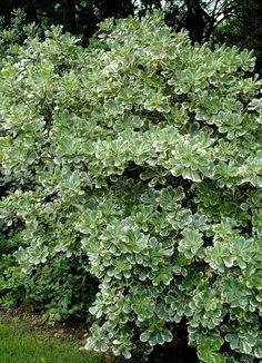 Botanical Name Pittosporum tobira 'Variegata' Also Known As Australian-Laurel Landscaping Around Deck, Backyard Pool Landscaping, Farmhouse Landscaping, Landscaping Plants, Florida Landscaping, Backyard Bbq, Landscaping Ideas, Shade Shrubs, Trees And Shrubs