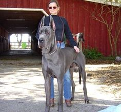 Great dane! Now that's a real dog, not like those ugly little dogs which you always keep stepping on by accident.