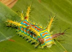 Wattle Cup Caterpillar-I would wear this in my hair