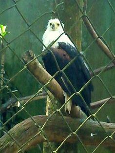 Gavião - Zoo de São Paulo