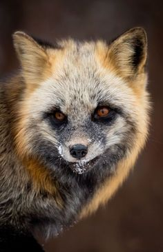 Cross Fox by Brittany Crossman - National Geographic Your Shot