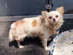 TO BE DESTROYED 7/19/14 Manhattan Center  My name is SPARKY. My Animal ID # is A1005714. I am a male tan chihuahua lh mix. The shelter thinks I am about 3 YEARS old.  I came in the shelter as a SEIZED on 07/05/2014 from NY 10463, owner surrender reason stated was PET HEALTH.