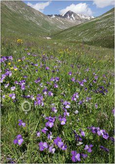 Alpine pansy, viola alpina Richard Revels Photography - The SWISS ALPS.