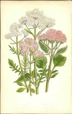 Antique Color Anne Pratt Flower Plant Print Botanical Plate 102 c.1850