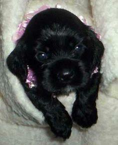 black cocker spaniel puppy <3