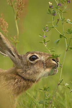 A hare eats a leaf…. Wild Rabbit, Jack Rabbit, Rabbit Art, Wildlife Photography, Animal Photography, Beautiful Creatures, Animals Beautiful, Animals And Pets, Cute Animals