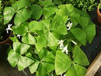 How to Grow and Care for Shamrock Plants.  I just got a shamrock plant, and I tend to kill everything, so...