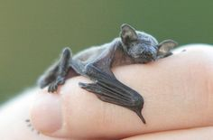 A baby fruit bat snuggling up to an INCREDIBLY lucky person's finger.
