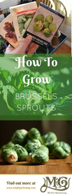 Growing Brussels sprouts can be tricky for even experienced gardeners. Click to find out how to grow them and a gardening challenge or pin it for later