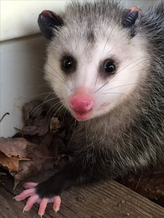 Female Opossums have a pouch, the males do not. They have 13 nipples in their pouch and can give birth to 1-50 babies but only the first 13 to crawl into their moms pouch and latch on have a chance of survival. The average litter that survives is about 3-6 babies...Rebecca Harvey